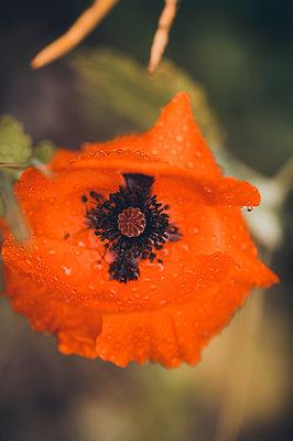 Poppy flower, close-up - p1628m2288892 by Lorraine Fitch