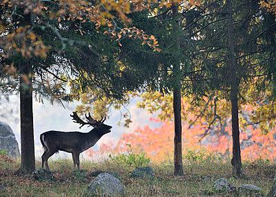 Deer in forest - p575m714935 by Stefan Ortenblad
