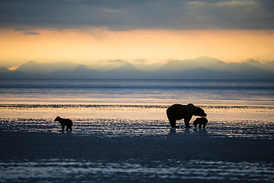 USA, Alaska, Lake Clark National Park and Preserve, Brown bear with cubs searching for mussels in lake - p300m911252f by Fotofeeling