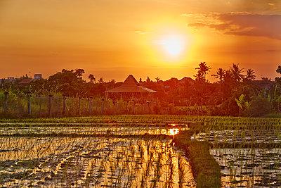 Reisfeld im Sonnenuntergang - p704m1476103 von Daniel Roos