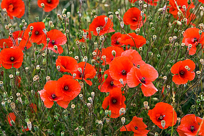 Poppy field, Cotswolds, United Kingdom - p871m837919 by Tim Graham