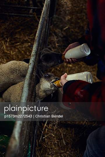 Feeding lambs with a milk bottle - p1573m2272543 by Christian Bendel
