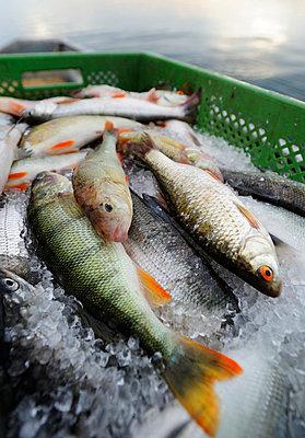 Germany;  Bavaria;  Fresh fish on fishing boat at Lake Starnberg - p300m836947f by Hans Lippert