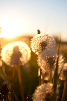 Löwenzahnblüten im Sonnenuntergang - p533m1496809 von Böhm Monika