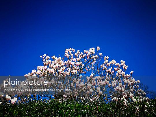 Magnolienbaum - p551m1585089 von Kai Peters