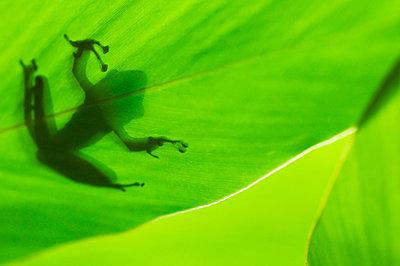 Macro picture of a Schlegel's frog on Borneo, Sarawak - p1144m967490 by Misja Smits