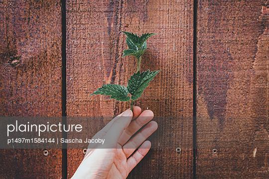 Hand hält grüne Pflanze vor Holzwand - p1497m1584144 von Sascha Jacoby