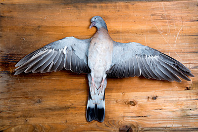 Dead Pigeon - p451m919222 by Anja Weber-Decker