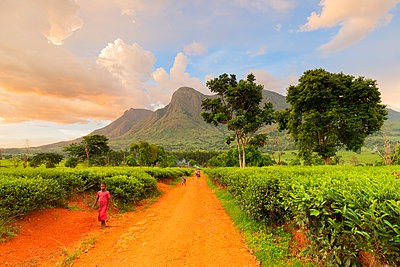 Africa, Malawi, Blantyre district, Cultivations of tea. - p651m2032988 by Alfonso Della Corte