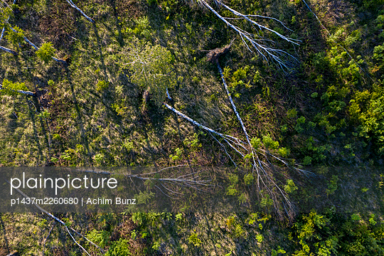 Disrooted birches, storm damage, drone photography - p1437m2260680 by Achim Bunz