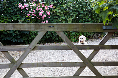 Dog lying behind fence - p1057m1041411 by Stephen Shepherd