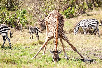 Giraffe with zebras - p533m1215498 by Böhm Monika