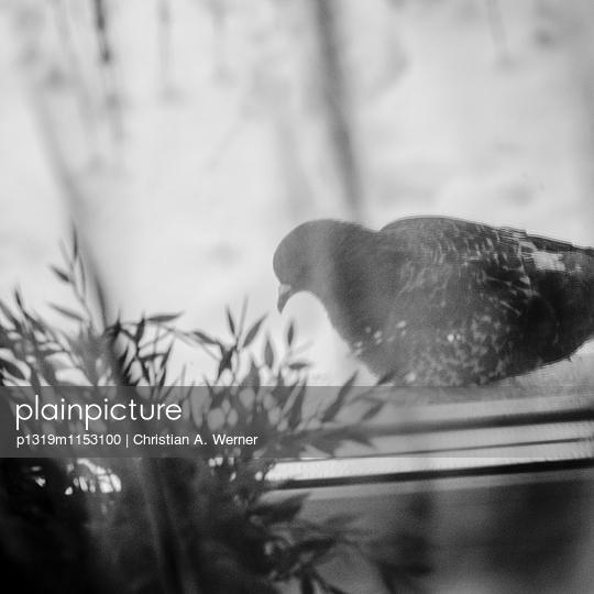 Taube vor dem Fenster - p1319m1153100 von Christian A. Werner