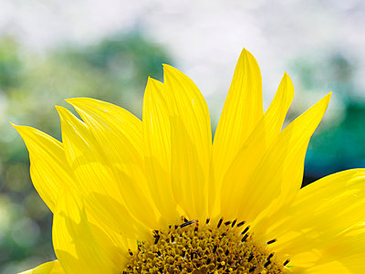 Close-up of sunflower (Helianthus) in bloom - p1427m1553654 by WalkerPod Images