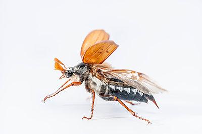 May beetle, Melolontha melolontha - p1437m2057018 by Achim Bunz
