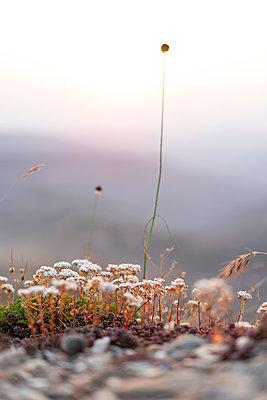 Spain, Catalonia, Grasses on Montcau at sunset - p300m2012329 von VITTA GALLERY