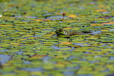 An American bullfrog (Lithobates catesbeianus) rests in a pond; Tahlequah, Oklahoma, United States of America  - p442m1179904 by Robert L. Potts