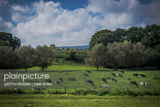 Cattle on meadow - p227m1503289 by Uwe Nölke