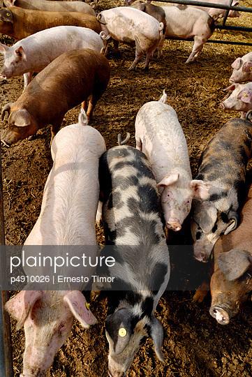 Außenhaltung von Schweinen - p4910026 von Ernesto Timor