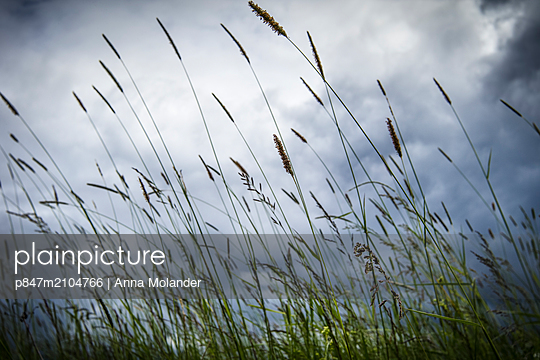 Low Angle View Of Grass Growing Against Cloudy Sky, Sweden   - p847m2104766 by Anna Molander