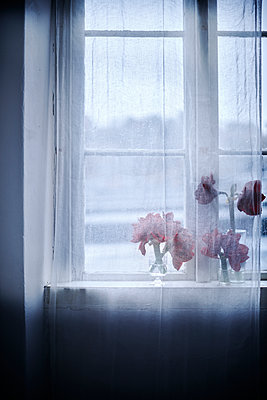 Amaryllis flowers on windowsill - p312m1192705 by Pernilla Hed