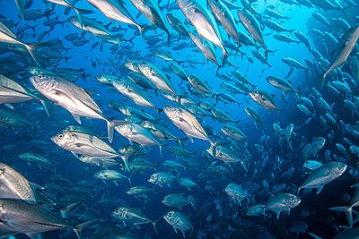 School of jack fish, Puntarenas, Costa Rica - p429m2019323 by Rodrigo Friscione