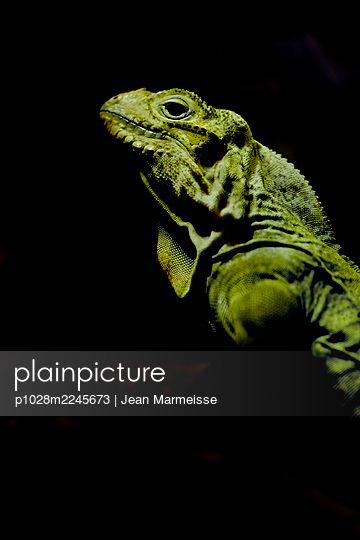 Iguana - p1028m2245673 by Jean Marmeisse