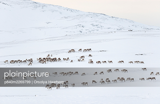Herd of wild reindeer (Rangifer tarandus) in snow-covered winter landscape. Forollhogna National Park, Norway. January. - p840m2269799 by Orsolya Haarberg