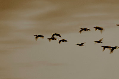 Flock of canada geese I - p235m877584 by KuS