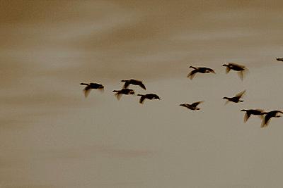 Kanadagänse fliegen in V-Formation I - p235m877584 von KuS