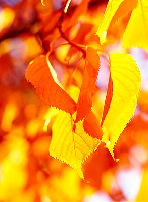 Autumn leaves in glowing colors close-up Sweden. - p31218436 by Elliot Elliot
