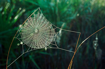 Orb web covered with dew, New Mexico, USA - p44210220f by Design Pics