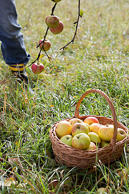 Apple harvest - p454m764426 by Lubitz + Dorner