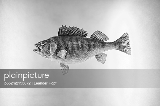 Perch against white background - p552m2193672 by Leander Hopf