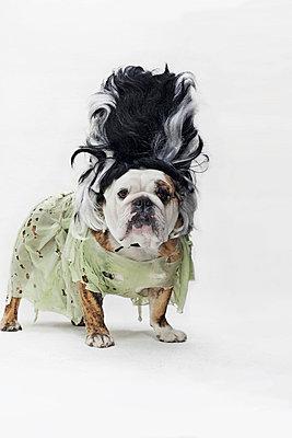 An English Bulldog in costume as the bride of Frankenstein - p301m731106f by Winnie Au