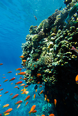A coral reef, the Red Sea. - p5754477f by Hans Berggren