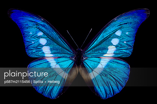 Blue butterfly - p587m2115456 by Spitta + Hellwig