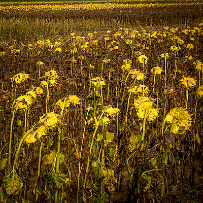 Field with withered sunflowers  - p813m1481226 by B.Jaubert