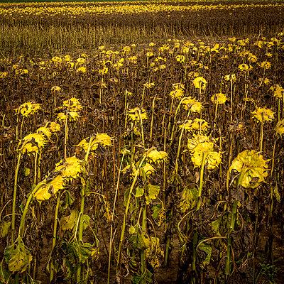 Feld mit vertrockneten Sonnenblumen - p813m1481226 von B.Jaubert