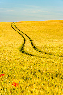 Tire tracks in the middle of a field of Corn. Auvergne. France - p813m1462125 by B.Jaubert