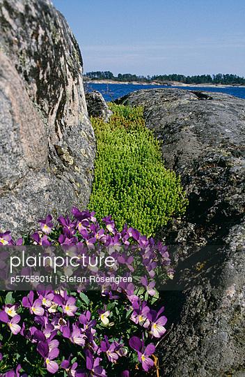 Purple flowers growing between large rocks