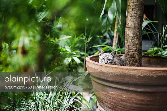 Katze in Blumentopf - p728m2219753 von Peter Nitsch