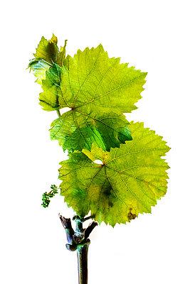 Vine - p1088m1034549 by Martin Benner