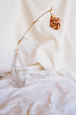 Dried Flower in a Glass Bottle  - p1655m2233653 by lindsay basson