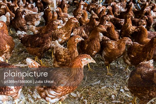 Hühnerstall 8 - p1388m1586906 von Julia Unkel