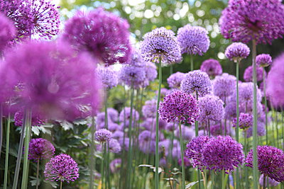 Allium Flower - p045m1042692 by Jasmin Sander