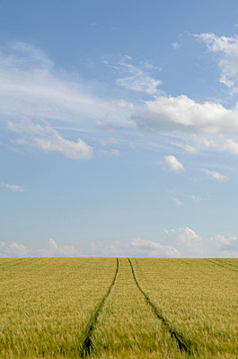 Field of barley (hordeum) - p3006974f by Claudia Rehm