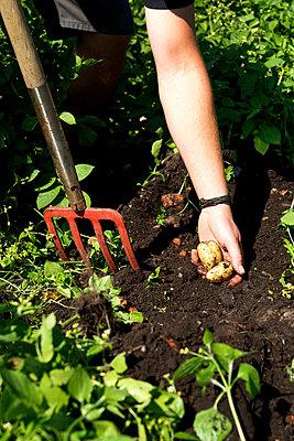 Kartoffelernte - p553m937869 von Christine Basler