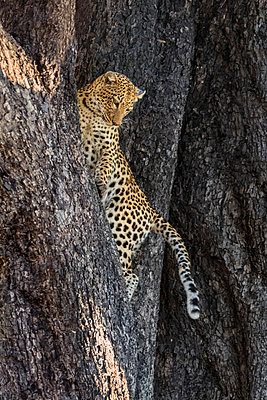Botswana, Vumburua Plains, Okavango Delta. A leopard cub in a tree. - p652m1505131 by Nigel Pavitt
