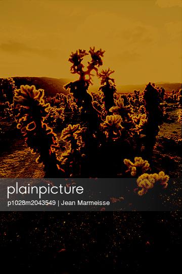 Cholla cactus (Cylindropuntia bigelovii), Joshua Tree National Park, California - p1028m2043549 von Jean Marmeisse